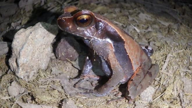Copper eyed Frog