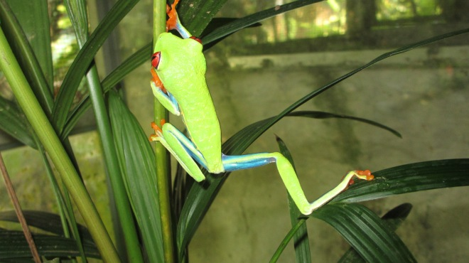 Green red-eyed tree frog1